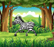 A zebra at the jungle Stock Photos