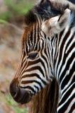 Zebra-Kalb Stockbild