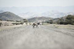 Zebra Kaokoland Regione di Kunene nafta immagine stock