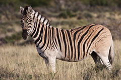 Zebra at Karoo National Park Royalty Free Stock Image