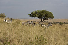 Zebra in Kenia Stock Image