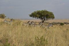 Zebra in Kenia Stock Afbeelding