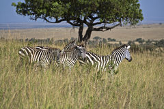 Zebra in Kenia Stock Images