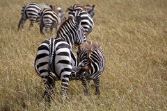 Zebra in Kenia Royalty Free Stock Images