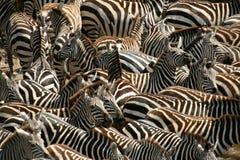 Zebra (Kenia) Immagine Stock Libera da Diritti
