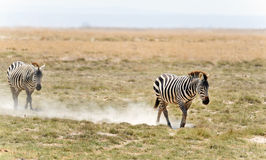 Zebra in  Kenya Royalty Free Stock Image