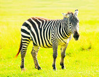 Zebra, Kenya Royalty Free Stock Images