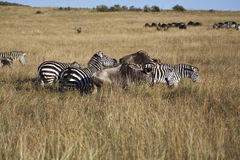 Zebra in Kenya Royalty Free Stock Photos