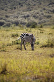 Zebra, Kenya Royalty Free Stock Photos