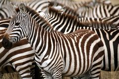Zebra (Kenya) Stock Photo