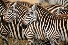 Zebra (Kenya). Zebra in the grass of the Masai Mara Reserve (Kenya Royalty Free Stock Photography