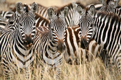 Zebra (Kenya). Zebra in the grass of the Masai Mara Reserve (Kenya Stock Image