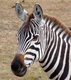 Zebra in Kenya's Masai Mara. Stock Photos