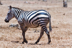 Zebra in Kenya's Royalty Free Stock Photo