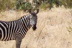 Zebra in Kenya Stock Photography