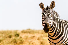 Zebra in Kenya's Tsavo Reserve Stock Images