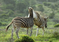 Zebra Kick in the face Stock Images