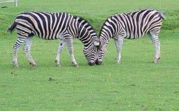 zebra kierowniczy s Obraz Royalty Free
