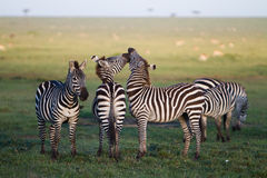 Zebra Kiss. Zebras playing in the Masai Mara Stock Image