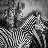 Zebra klan Obraz Stock