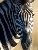 Zebra-Kopf Lizenzfreies Stockbild