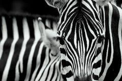 Zebra-Kopf lizenzfreie stockbilder