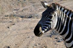 Zebra-Kopf mit staubigem Schmutzhintergrund Stockfotos