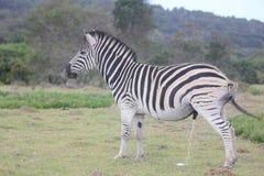 Zebra -  Kragga Kramma Game Park Royalty Free Stock Photos