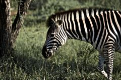Zebra Kruger im Nationalpark, Südafrika Lizenzfreie Stockfotos