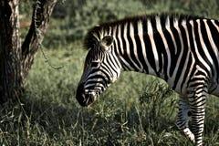 Zebra in Kruger Nationaal Park, Zuid-Afrika Royalty-vrije Stock Foto's