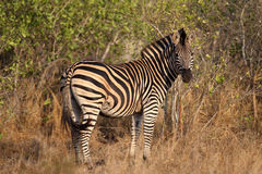 Zebra in Kruger National Park Stock Photography