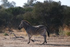 Zebra. At Kruger National Park Royalty Free Stock Image