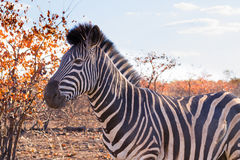 Zebra from Kruger National Park, equus quagga Stock Images