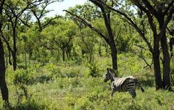 Zebra in Kruger National Park Royalty Free Stock Photo
