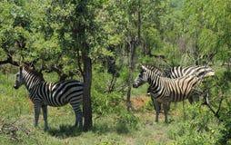 Zebra in Kruger National Park Stock Images