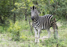 Zebra in the kruger national reserve Stock Image