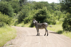 Zebra in the kruger national reserve Stock Photos