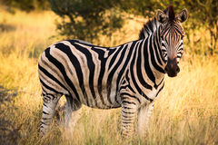Zebra. A zebra at the Kruger Park, South Africa Royalty Free Stock Photo