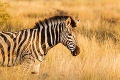 Zebra Stock Photography