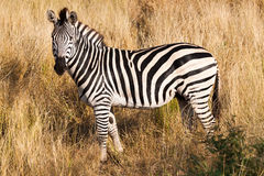 Zebra. A zebra at the Kruger Park, South Africa Stock Images