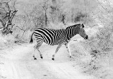 Zebra in Kruger Park South Africa Royalty Free Stock Image