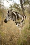 zebra krzaka Zdjęcie Royalty Free