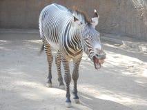 Zebra która był uśmiechnięta dla kamery Obraz Stock
