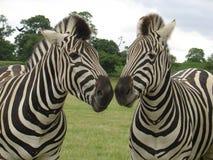 Zebra-Kuss Stockfoto