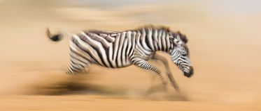 Zebra läuft in den Staub in der Bewegung kenia tanzania Chiang Mai serengeti Masai Mara Stockfoto