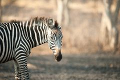 Zebra, Lake Mburo, Uganda stock images