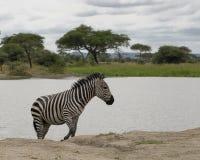 Zebra. At a lake, seen at Ngorongoro Crater National Park, near Arusha, Tanzania stock photos