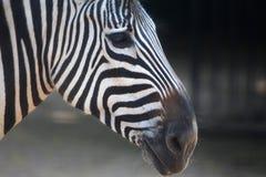 Zebra lampasy Obraz Royalty Free