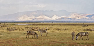 Zebra landscape Stock Photo