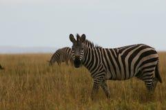 Zebra in the landscape of Tanzania stock photo